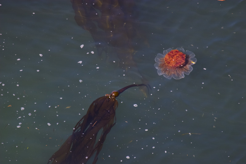 Jellyfish In Kelp Bed